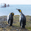 Couple of the King penguins on the shore. — Стоковая фотография