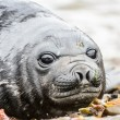 Beautiful eyes of a Baby Atlantic seal — Stock Photo