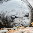 Baby Atlantic seal, cute look. — Foto de Stock