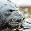 Atlantic seal. — Foto Stock