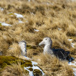 Black feather albatrosses. — Stock Photo