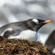 Stock Photo: Gentoo penguin stays in its nest.