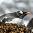 Gentoo penguin stays in its nest. — Stock Photo #18675751