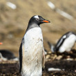 Gentoo penguin poses for the camera. — Stock Photo
