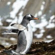 Gentoo penguin tries to fly with wings. — Stock Photo