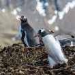 Stock Photo: Gentoo penguin
