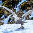Albatross is about to take off with the huge wings. — Stock Photo