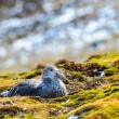 Couple of albatrosses in their nest — Stock Photo