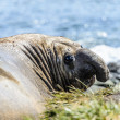Elephant seal — Photo