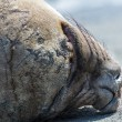 Seal sleeps deeply. — Stock Photo