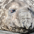 Elephant seal tries to sleep. — Stock Photo