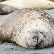 Elephant seal lays over the coast — Stock Photo