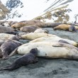 Seals lay over the coast line of the ocean — Stok fotoğraf