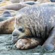Elephant seal in scratches — Stock Photo