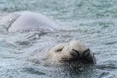 Elephant seal tries to keep the head out of the water — Stock Photo