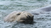 Elephant seal sleeps swimming. — Stock Photo