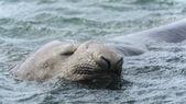 Guarnizione di elefante dorme nuoto. — Foto Stock