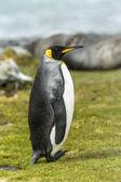 Pinguin sobre la verde hierba del rey — Foto de Stock