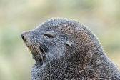 Feche a vista sobre os atlânticos peles de foca. — Foto Stock