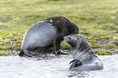 Atlânticos de peles de foca fora do oceano. — Foto Stock