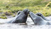 Atlantik kürk fokları birbirlerini öpmeye çalışın. — Stok fotoğraf