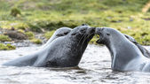 Atlantic fur seals play in the water. — Stock Photo