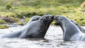 Atlantik kürk fokları suda oynamak. — Stok fotoğraf