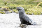 北大西洋海狗. — 图库照片