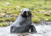 从水里北大西洋海狗表演. — 图库照片