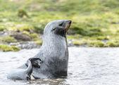 从水里北大西洋海狗配置文件. — 图库照片