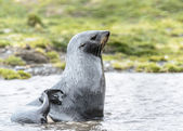 Atlantic fur seal profile out of the water. — Stock Photo