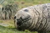 Cute look of the atlantic seal. — Stock Photo