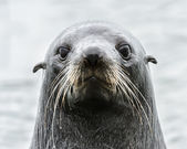 Intense look of an Atlantic seal. — Foto de Stock