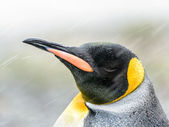 王のビューを閉じるとペンギンと異なる色でその頭 — ストック写真