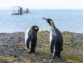 Para króla pingwiny na brzegu. — Zdjęcie stockowe