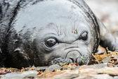 大西洋アザラシの赤ちゃん、かわいいを見てください。. — ストック写真