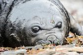 Cría de foca atlántica, mono mira. — Foto de Stock
