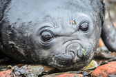 Amazing deep eyes of a Baby Atlantic seal — Stock Photo