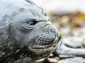 Atlantic sigill. — Stockfoto