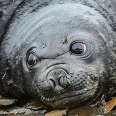 Foca atlantico guarda con occhi enormi molto profondi e belli. — Foto Stock