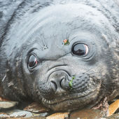 Phoque de l'atlantique bébé regarde avec des yeux énormes très profonds et beau. — Photo