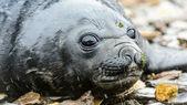 Baby atlantic seal lägger på stenarna — Stockfoto