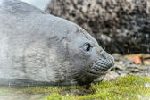 Baby Atlantic seal — Stockfoto