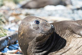 Female Elephant seal — Stockfoto