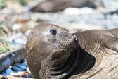 Kvinnliga sjöelefant — Stockfoto
