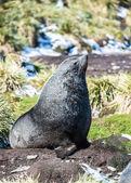 атлантического морского котика позирует для камеры. — Стоковое фото