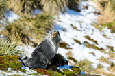 Atlantic fur seal in front of the beautiful snow nature. — Stock Photo