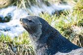 北大西洋海狗构成为相机. — 图库照片