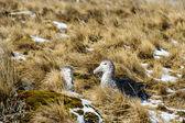 Czarne pióro albatrosy. — Zdjęcie stockowe