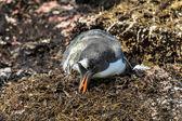 субантарктический пингвин смотрит на некоторые продукты питания. — Стоковое фото